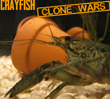 Crayfish Clone Wars